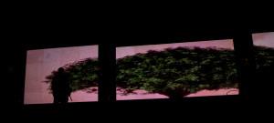 A árvore Gajimaru simbolizou o amadurecimento do grupo
